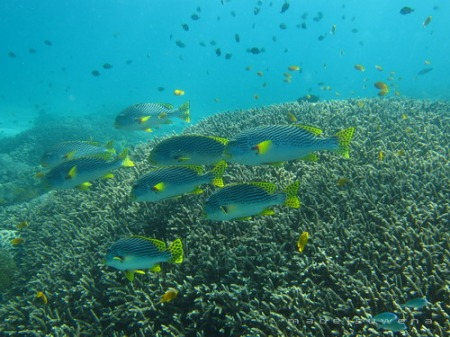 sweetlip fish on the reefs